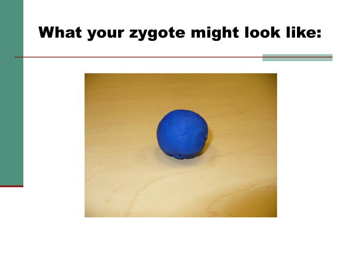 What your zygote might look like