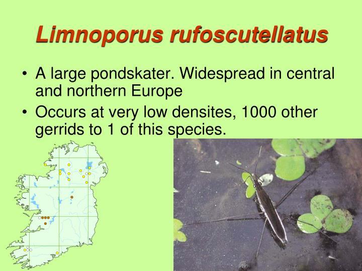 Limnoporus rufoscutellatus