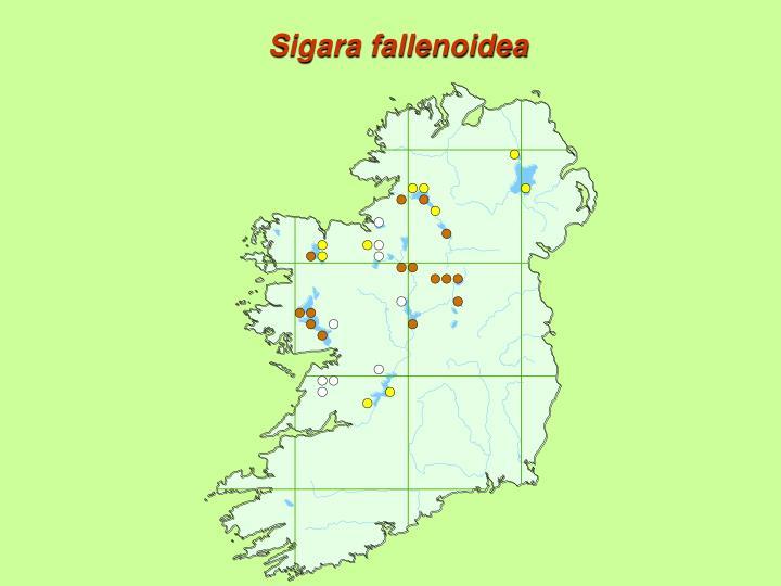 Sigara fallenoidea