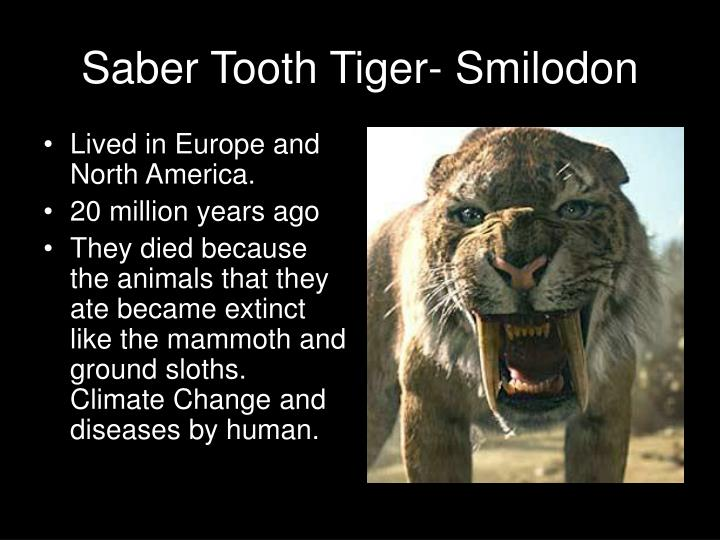 Saber Tooth Tiger-
