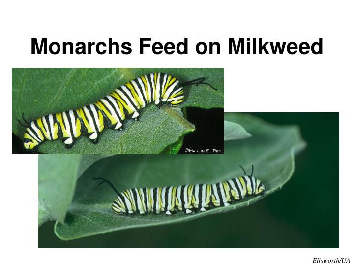 Monarchs Feed on Milkweed