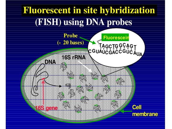 Fluorescent in site hybridization