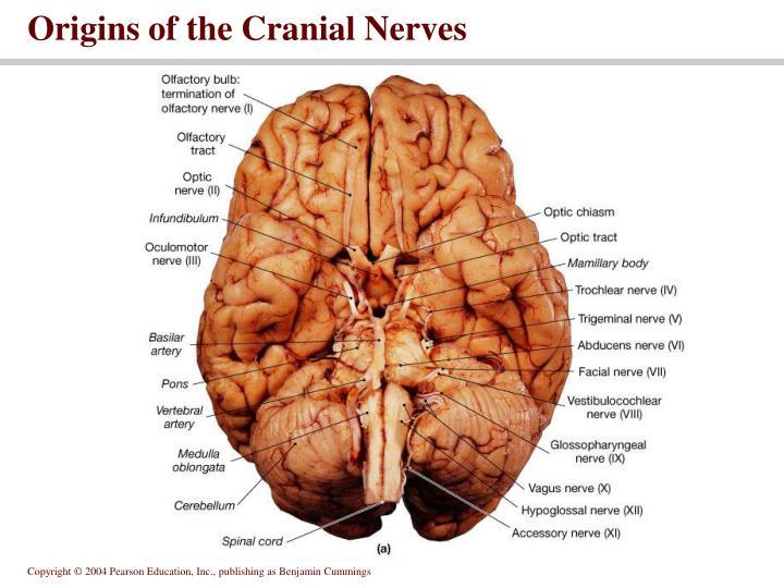 Origins of the Cranial Nerves