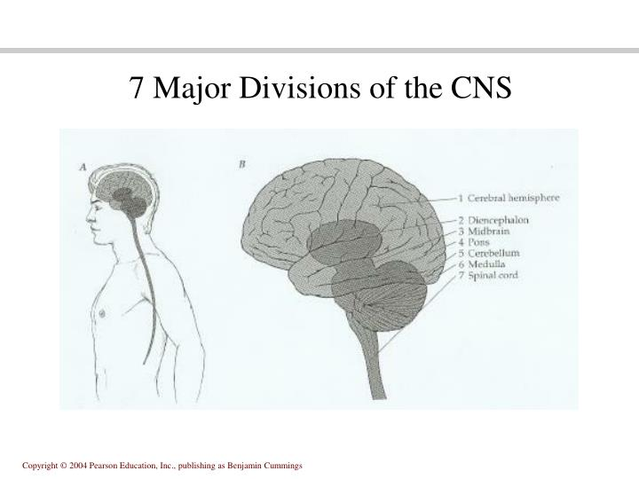 7 Major Divisions of the CNS