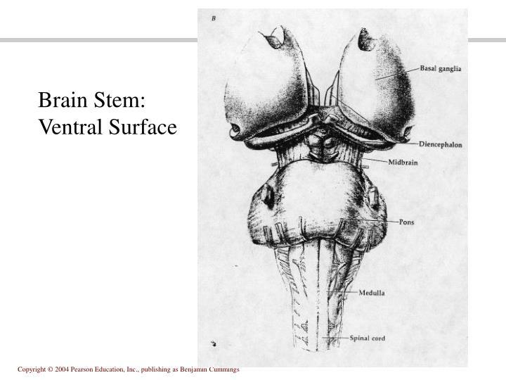 Brain Stem: