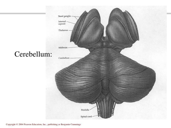 Cerebellum: