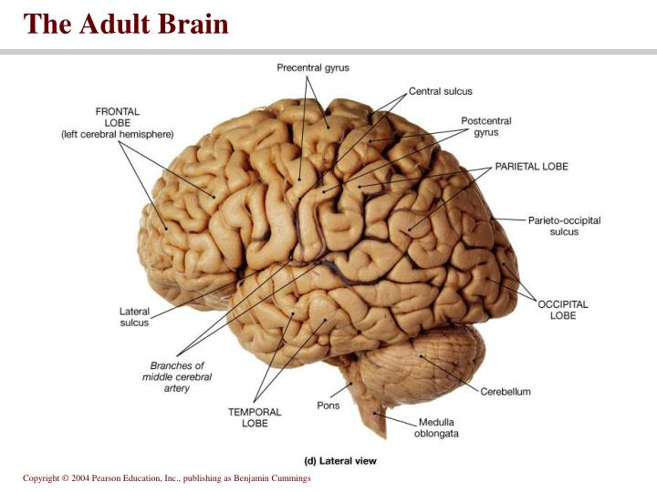 The Adult Brain