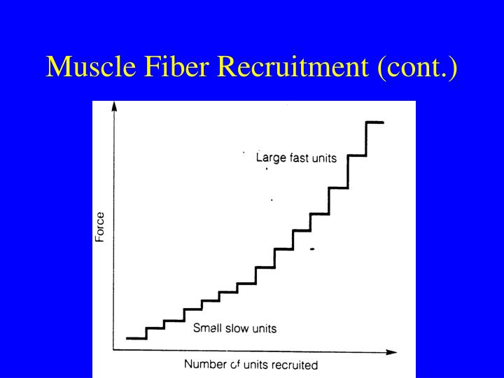 Muscle Fiber Recruitment (cont.)
