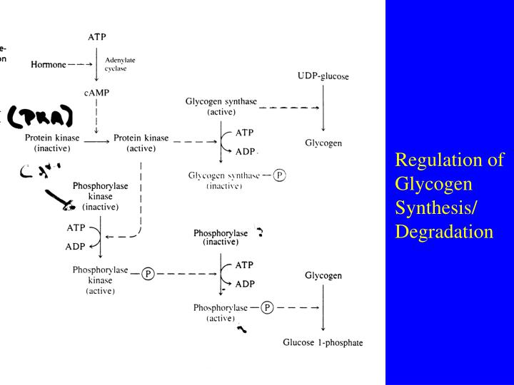Regulation of Glycogen Synthesis/