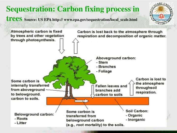 Sequestration: Carbon fixing process in trees
