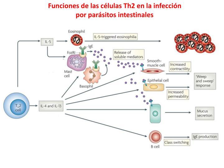 Funciones de las células Th2 en la infección por parásitos intestinales