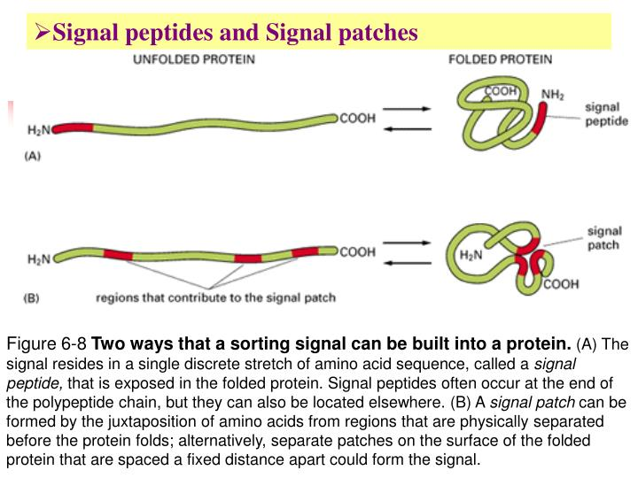 Signal peptides and Signal patches