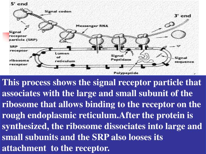 This process shows the signal receptor particle that associates with the large and small subunit of the ribosome that allows binding to the receptor on the rough endoplasmic reticulum.After the protein is synthesized, the ribosome dissociates into large and small subunits and the SRP also looses its attachment  to the receptor.