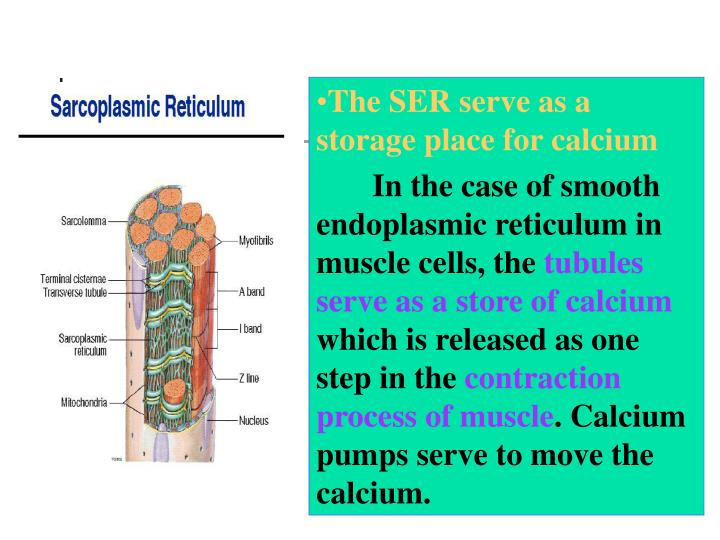 The SER serve as a storage place for calcium