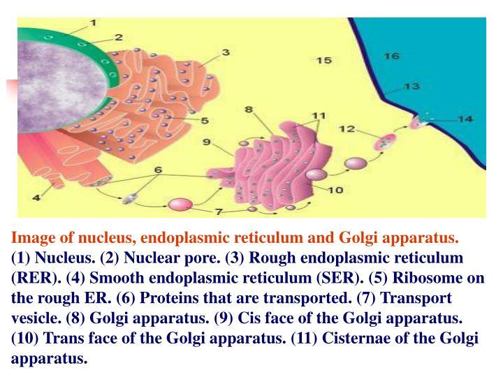 Image of nucleus, endoplasmic reticulum and Golgi apparatus.