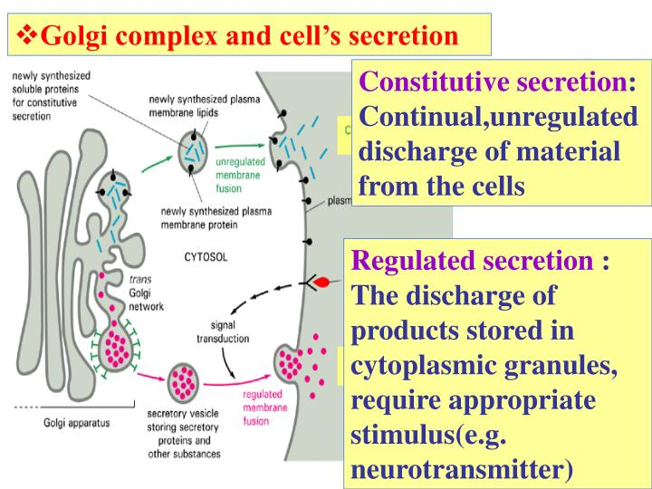 Golgi complex and cell's secretion