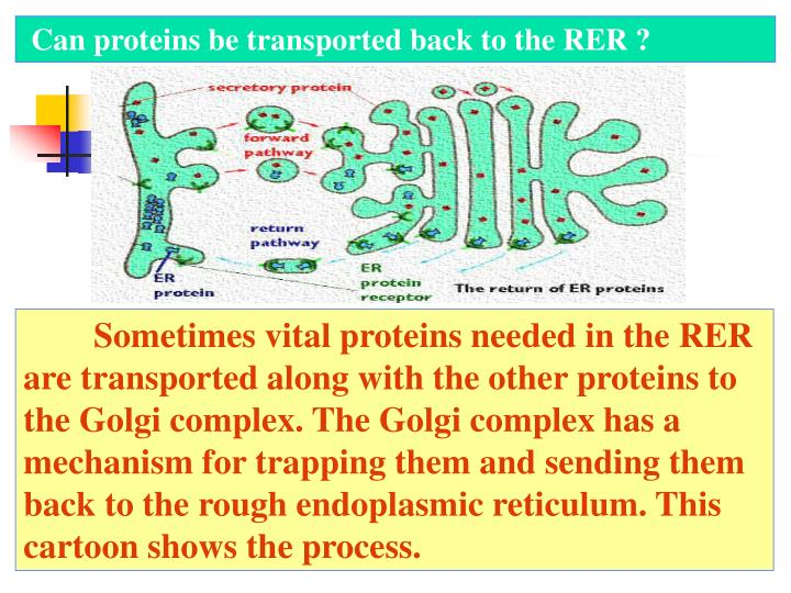 Can proteins be transported back to the RER ?