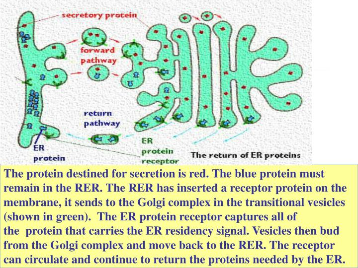 The protein destined for secretion is red. The blue protein must remain in the RER. The RER has inserted a receptor protein on the membrane, it sends to the Golgi complex in the transitional vesicles (shown in green).  The ER protein receptor captures all of the  protein that carries the ER residency signal. Vesicles then bud from the Golgi complex and move back to the RER. The receptor can circulate and continue to return the proteins needed by the ER.
