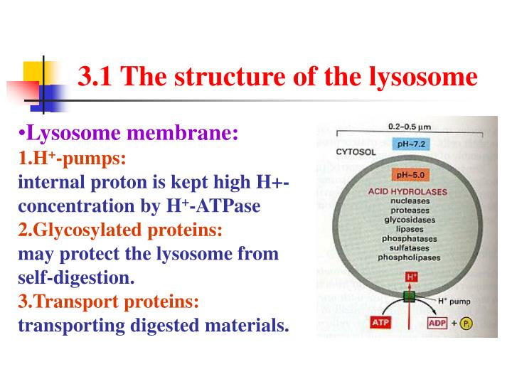 3.1 The structure of the lysosome