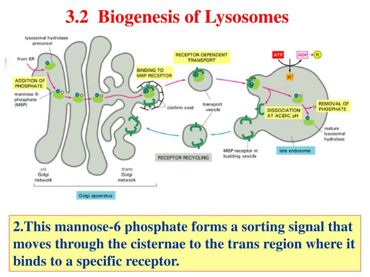 3.2  Biogenesis of Lysosomes