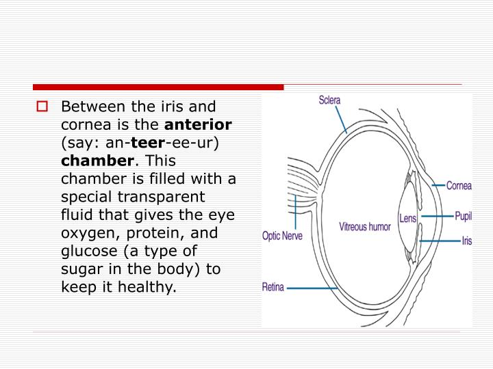 Between the iris and cornea is the