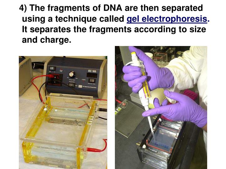 4) The fragments of DNA are then separated using a technique called