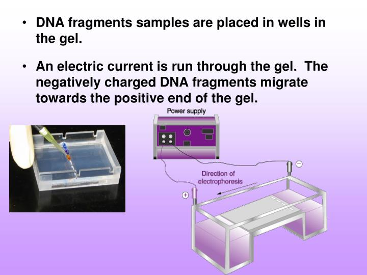 DNA fragments samples are placed in wells in the gel.