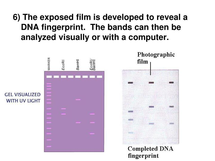6) The exposed film is developed to reveal a DNA fingerprint.  The bands can then be analyzed visually or with a computer.