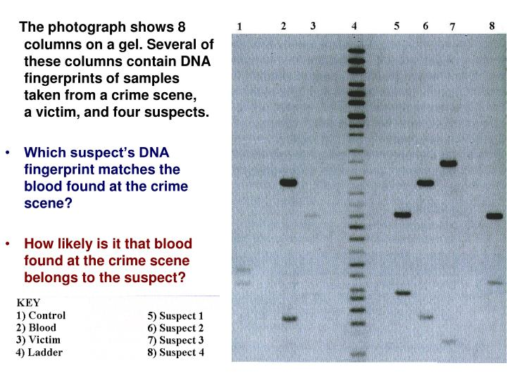 The photograph shows 8                                                                          columns on a gel. Several of                                                                          these columns contain DNA                                                                    fingerprints of samples                                                                                taken from a crime scene,                                                                                      a victim, and four suspects.