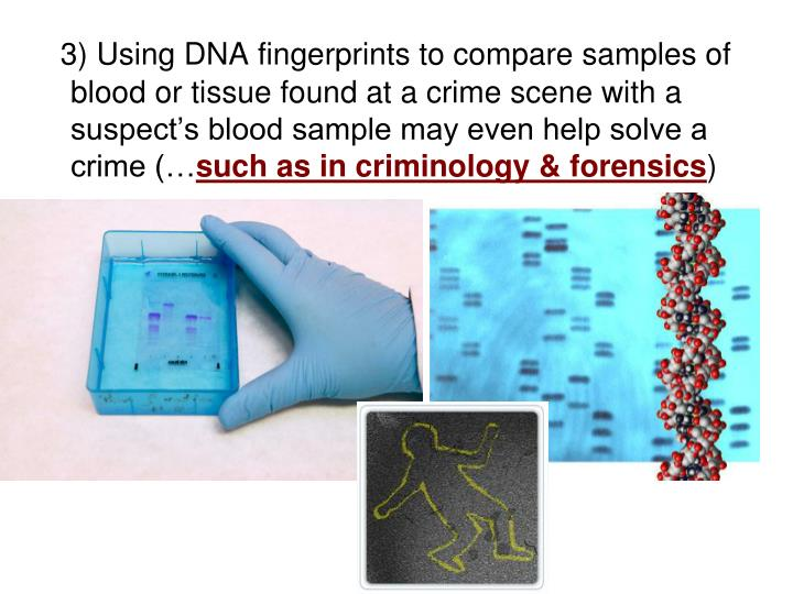 3) Using DNA fingerprints to compare samples of blood or tissue found at a crime scene with a suspect's blood sample may even help solve a crime (…