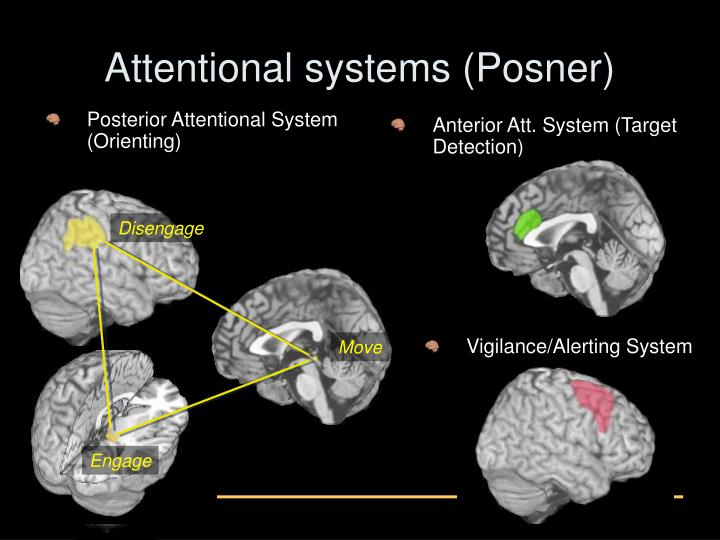 Posterior Attentional System (Orienting)