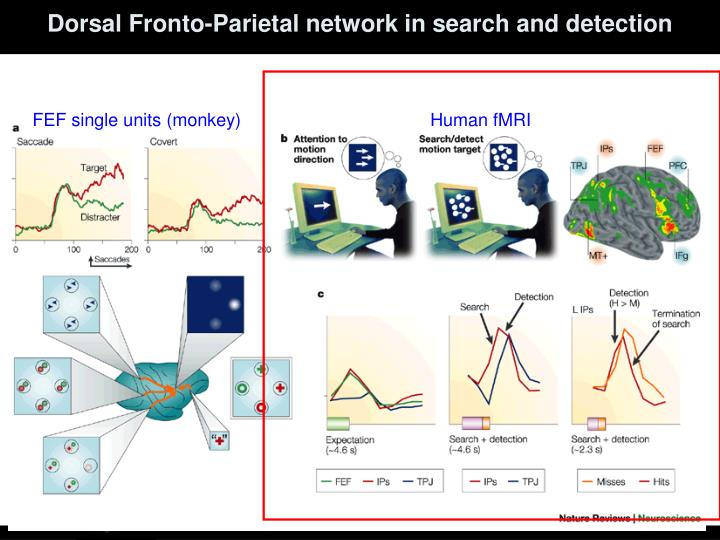 Dorsal Fronto-Parietal network in search and detection