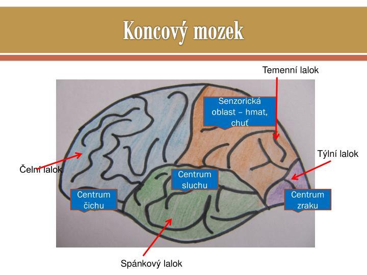 Koncový mozek