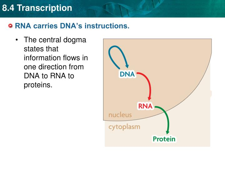 Rna carries dna s instructions