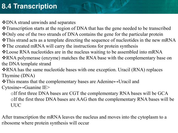 DNA strand unwinds and separates