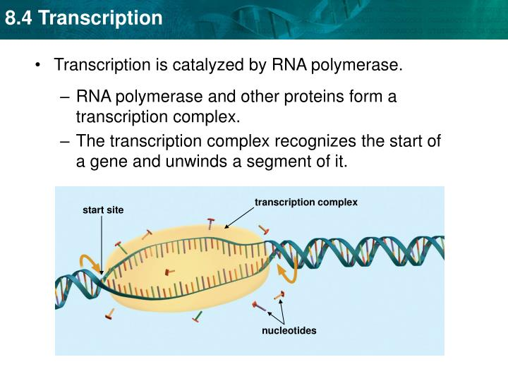 transcription complex