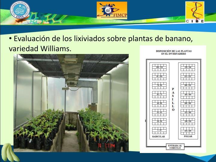 Evaluación de los lixiviados sobre plantas de banano, variedad Williams.