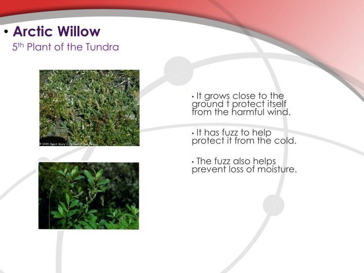 Arctic Willow