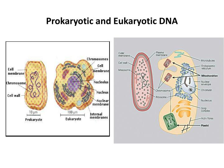 Prokaryotic and Eukaryotic DNA