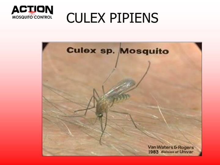 CULEX PIPIENS