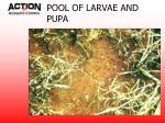 pool of larvae and pupa