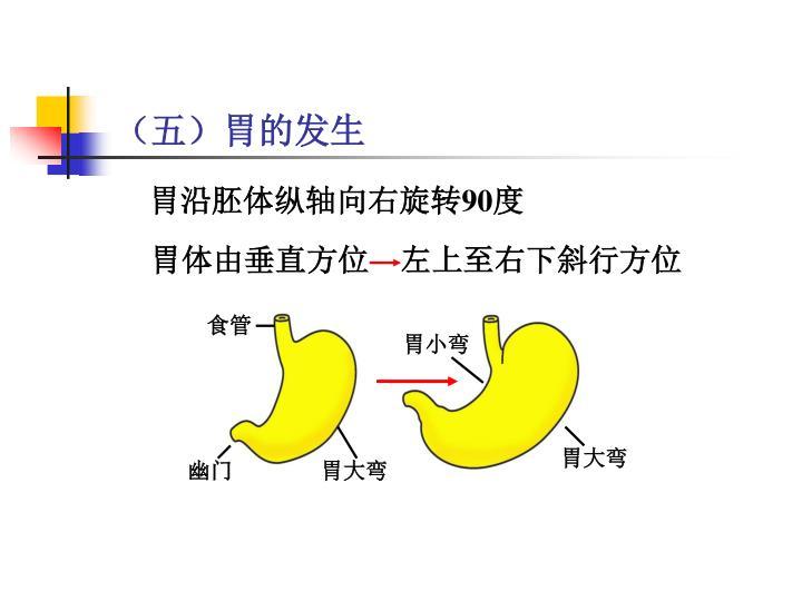 胃体由垂直方位    左上至右下斜行方位