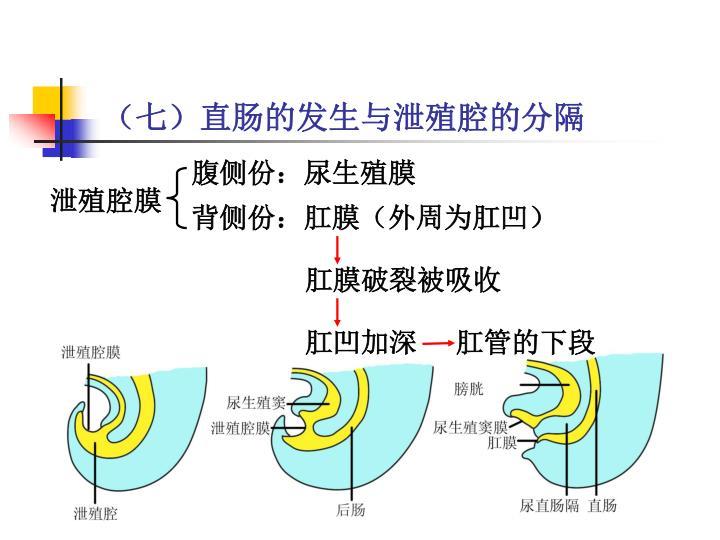 (七)直肠的发生与泄殖腔的分隔