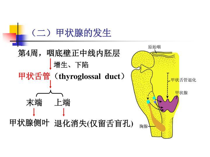 (二)甲状腺的发生