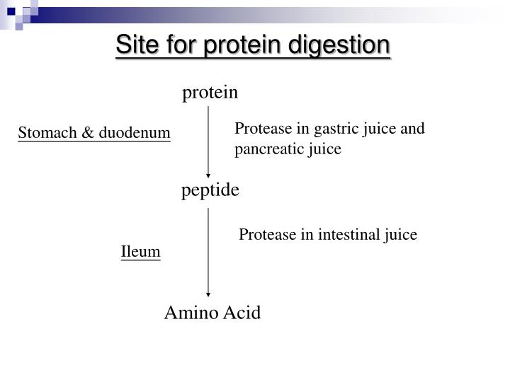 Site for protein digestion