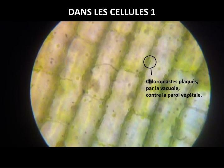 DANS LES CELLULES 1