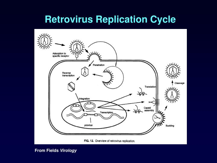Retrovirus Replication Cycle