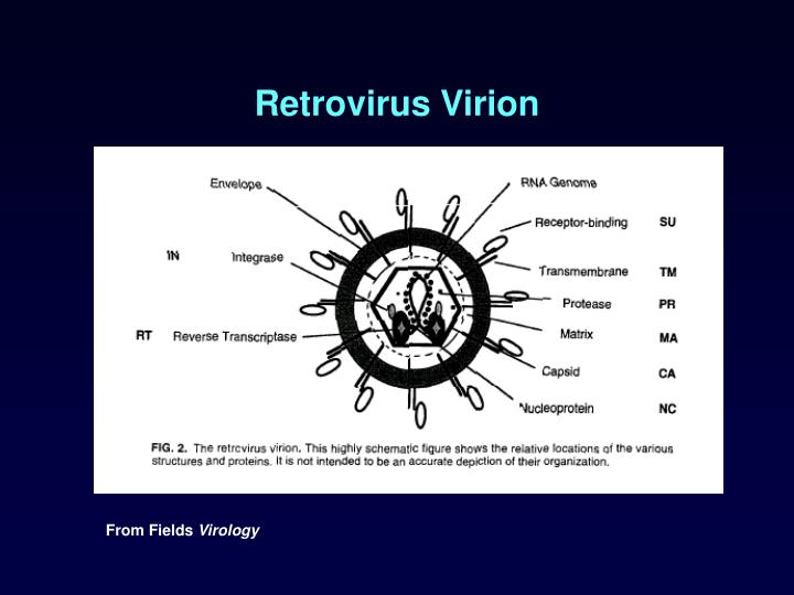 Retrovirus Virion