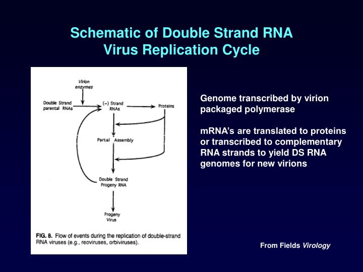Schematic of Double Strand RNA
