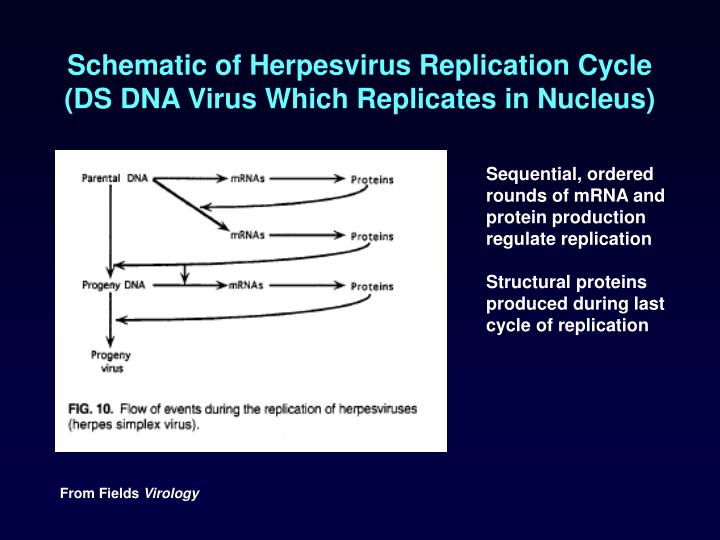 Schematic of Herpesvirus Replication Cycle